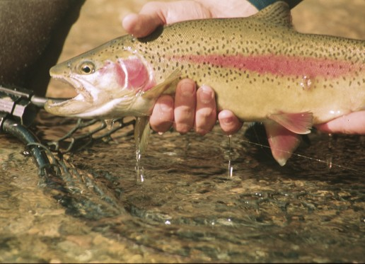 Lees Ferry Rainbow Trout