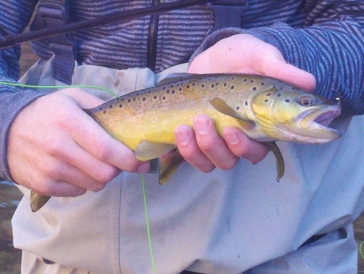 Lees Ferry brown trout